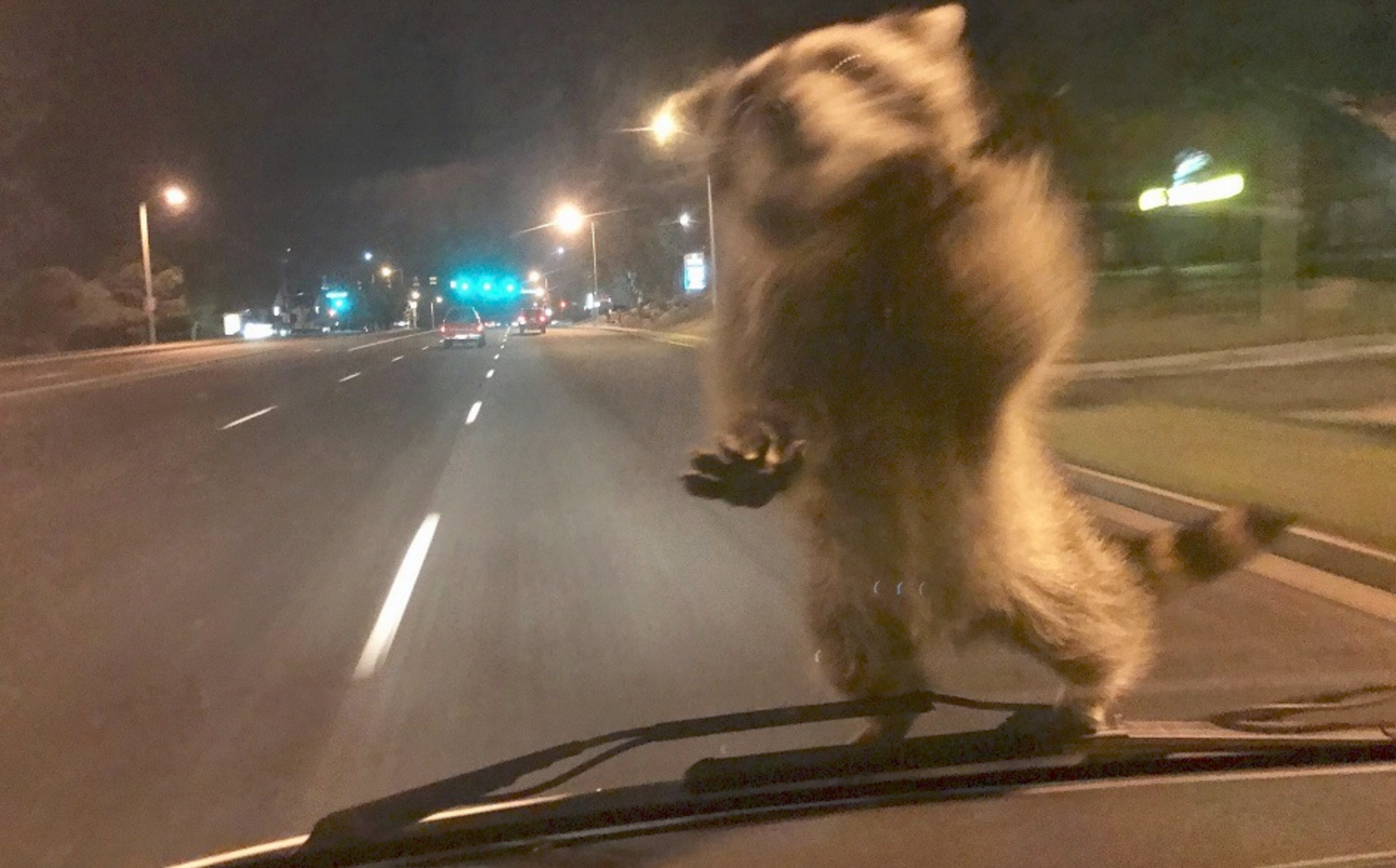 Surprising place to find a Raccoon! Gives New Meaning To 'Police Ride-Along'